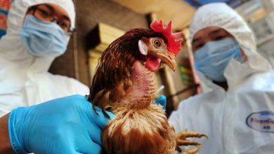 صورة سلالة مميتة من إنفلونزا الطيور تضرب الولايات المتحدة